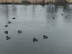 Ducks on the pond on a very cold day.