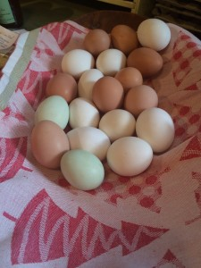 Lovely eggs from Boggy Creek's resident chickens.