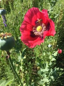 Bee in a poppy.