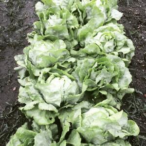 Butter lettuce in the field