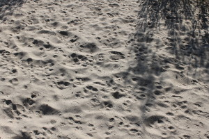 Paw prints in the sand.