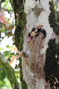 A very tiny cocao pod.