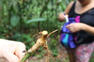 A turmeric root Haneen came across.