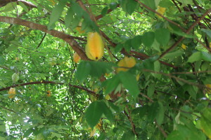 Starfruit in the tree. Giselle said when they're orange, they're fully ripe. The only ones I've ever seen are green.