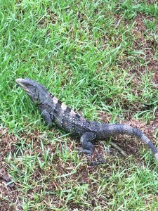 A spiny-tailed iguana that happened to be passing by.