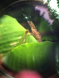 A female Yellow-Headed Gecko.