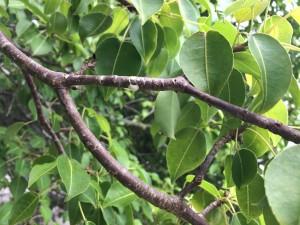 The dreaded Manzanillo Tree.